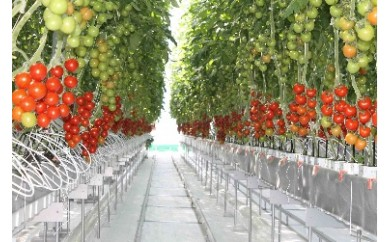 A06 【苫小牧が誇る植物工場!】糖度10以上ミニトマトセット