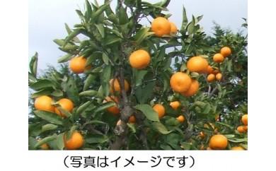 A-100 みかん(ポンカン) ※1月上旬~1月20日