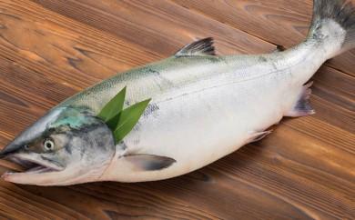 [№4630-0516]えりも産冷凍トキ鮭(トキシラズ)