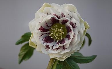 クリスマスローズ(希少ダブル1鉢) 花言葉:冬の貴婦人