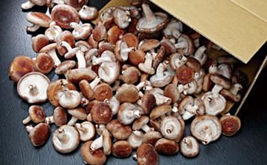[№5829-0143]椎茸大量てんこ盛りセット