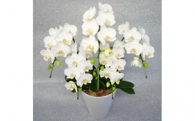 [№5535-0007]ミディ胡蝶蘭5本立て 白