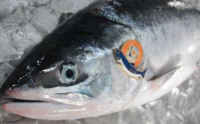 幻の鮭児のお刺身