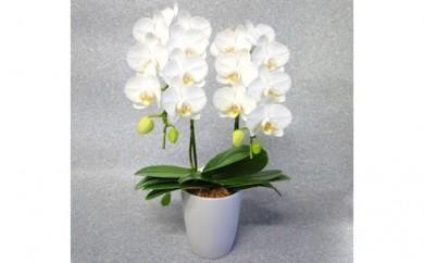 [№5535-0001]ミディ胡蝶蘭2本立て 白