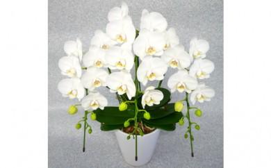[№5535-0004]ミディ胡蝶蘭3本立て 白