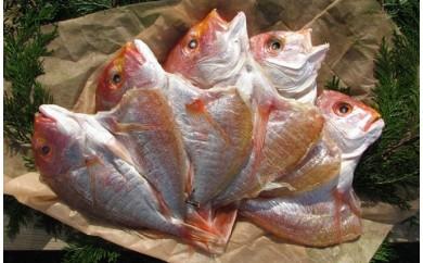 [№5716-0144]丹後のお魚屋さん一押しの絶品レンコダイの一夜干し