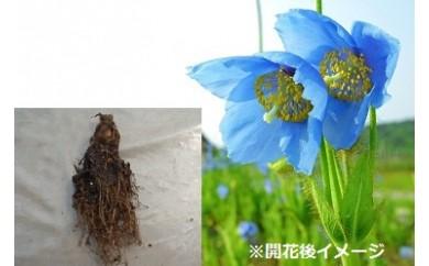 (B-10)青いケシの苗(メコノプシス)2本セット