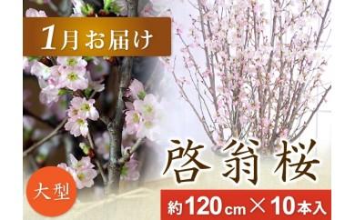 AT04 春を先取り!冬に咲く桜『啓翁桜』(1月お届けLサイズ)
