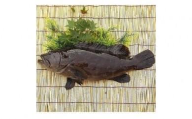 E-1.【紀北町】幻の「本クエ」・冬の鍋料理の王様を1尾お届け!