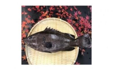 D-1.【紀北町】クエに匹敵!白身魚の女王「マハタ」を1尾お届け!