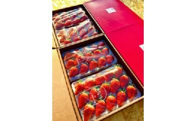 2-098 森木農園が作る、濃く甘いちご『紅ほっぺ』大粒どーんと3600g!!