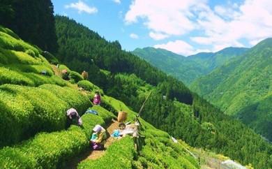 [№5677-0070]長野県天龍村・中井侍地区のお茶