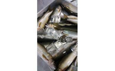 15031 中津川天然鮎 個別冷凍5~7匹
