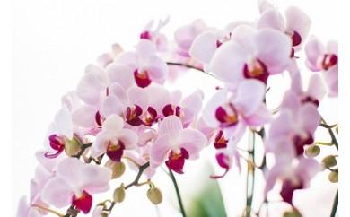 77  ミディ胡蝶蘭 サクラヒメ(栽培パンフレット付)