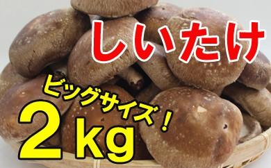 【お福分けシリーズ】ふぞろい椎茸 2kg
