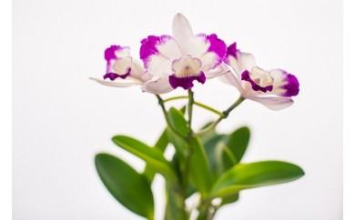 85 ミニカトレア&多肉植物バラエティセット