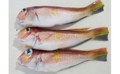 [0699]旬の魚シリーズ 手釣りアカアマダイ 1.2kg前後