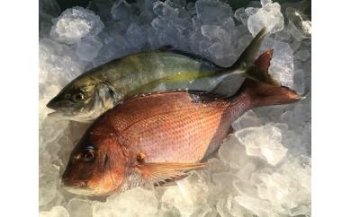 No.137 「お炭付き鯛」養マダイ約1.2kg・養シマアジ約1.2kg 各1尾セット