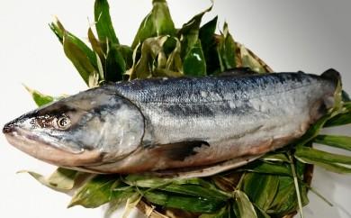 [№5930-0070]湧別産 銀系オス 新巻鮭 約3.2kg 1本