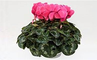 明和の冬の花「シクラメン」 5号鉢