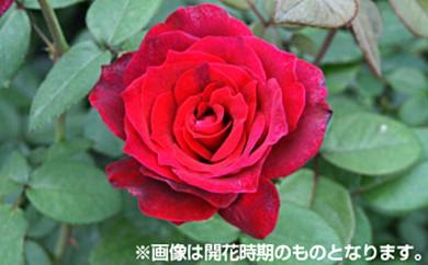 [№5649-0062]バラ鉢植え「フランボワーズ ショコラ」