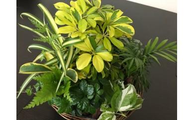 B-155.【室内用】季節のおまかせ観葉植物寄せカゴ