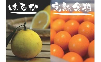 ZZ1 柑橘の町・日南市育ち★完熟金柑(3Lサイズ)&はるか★/3月上旬まで
