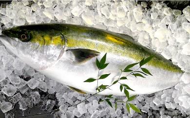 黒潮の恵み高知県産 養殖ブリセット