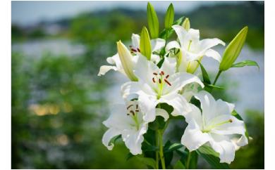 明日香園の華やかなオリエンタルユリの花束 20本(10本×2回発送)【期間&数量限定】