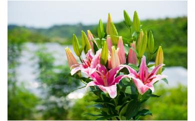 明日香園の華やかなオリエンタルユリの花束 60本(10本×6回発送)【期間&数量限定】