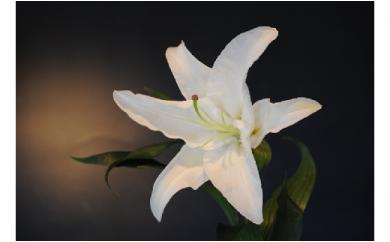明日香園の華やかなオリエンタルユリの花束 5本【期間&数量限定】