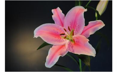 明日香園の華やかなオリエンタルユリの花束 3本【期間&数量限定】