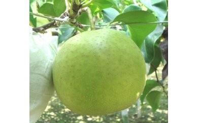 1801132 季節の梨C (二十世紀梨) 5.0kg