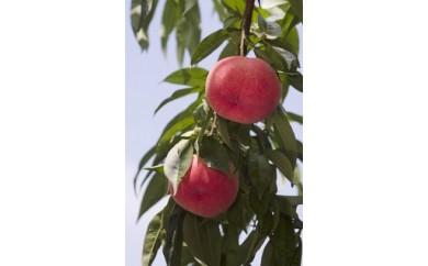 C-2:もも(川中島白桃) 5㎏ 「献上桃の郷」ブランド品