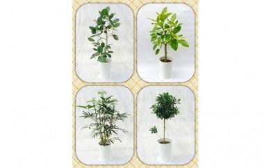 [№5672-0186]プロが選ぶ厳選・観葉植物 7号鉢