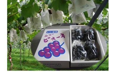 RF156 三次の葡萄 ニューピオーネ(露地栽培)【1.5P】