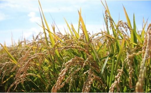 A70 【新米】お米ななつぼし10kg (玄米)