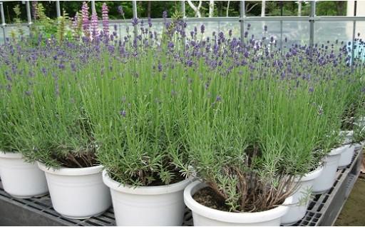 【先行予約・数量限定】ラベンダー鉢植えセット(鉢植え1鉢、ポプリ)