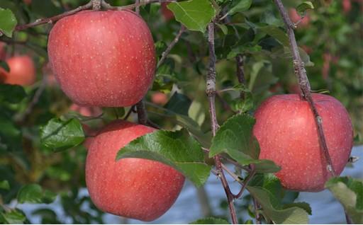 [№5729-0146]JAながの りんご サンふじ 約5kg