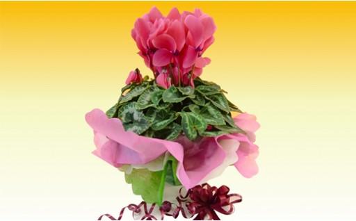 A150:冬の花シクラメン