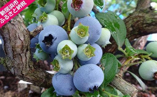 旬にお届け!無農薬栽培 完熟生ブルーベリー800g、完熟手作りブルーベリージャム4瓶セット