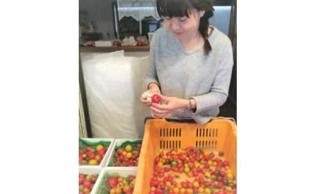 一つ一つのトマトを手作業で選別し、布で拭いています。