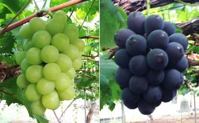 [№5765-0131]赤磐産ハウス促成栽培ブドウ詰合せ
