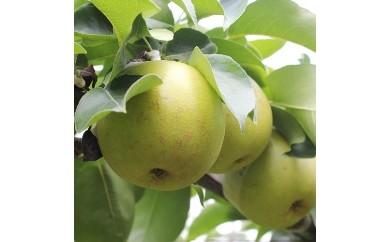 溢れる果汁 長野県産 なし(二十世紀) 約5キロ 秀品【予約受付・夏~秋発送】【A116】