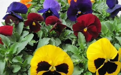 [№5791-0226]仙台季節の花便り 3種24株
