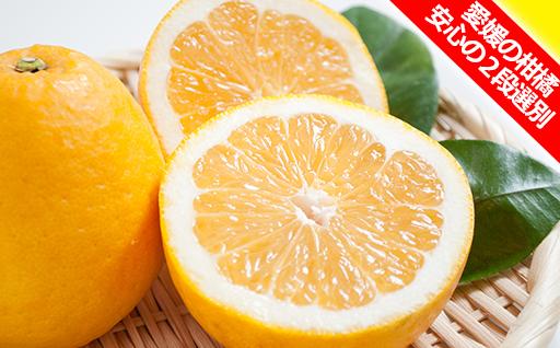 希少品種シリーズ「河内晩柑」 みずみずしくさっぱりとした甘さと酸味の柑橘を安心の2段選別でお送りします♪ 愛媛県産柑橘