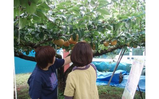 C13 梨の収穫体験C【幸水・彩玉・あきづきの収穫体験(約8kg)】