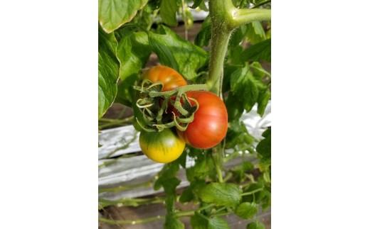A109 FARMYARDいしの ぷりぷりトマト