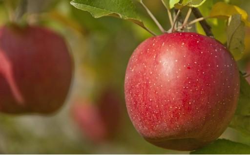 [№5799-0168]樹上完熟奥久慈りんご