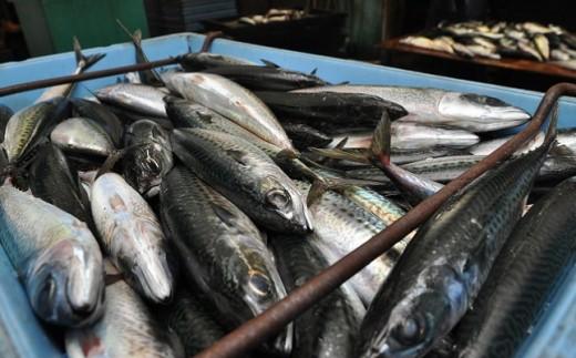 漁港直送の鮮度抜群の魚。 身は節に、卵巣・精巣はスーパーで販売。 それ以外の部位も肥料として活用され捨てる部分なし。